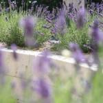 Travertin-Mauer miit Lavendel im Hochbeet