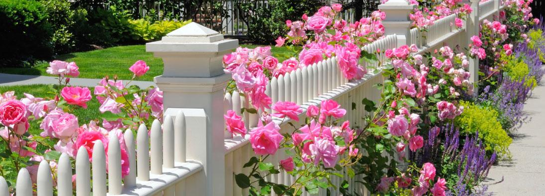 Rosen und Lavendel um einen romantischen Holz-Zaun
